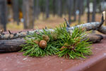 Pine branch on a table